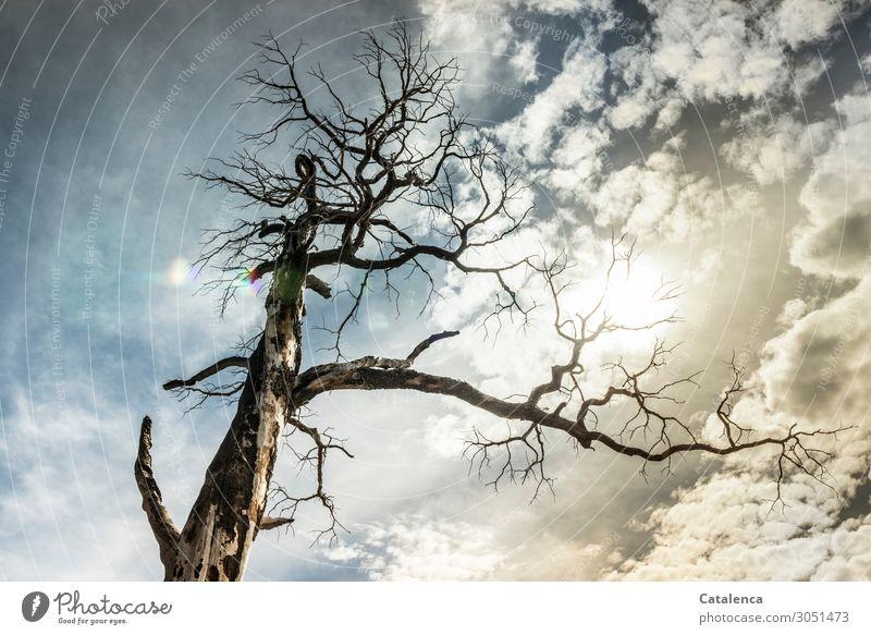 Vergänglich Natur Himmel Wolken Klima Klimawandel Wetter Schönes Wetter Baum Ast Holz Totholz Wald dehydrieren alt hoch kaputt Krankheit trocken blau braun gold