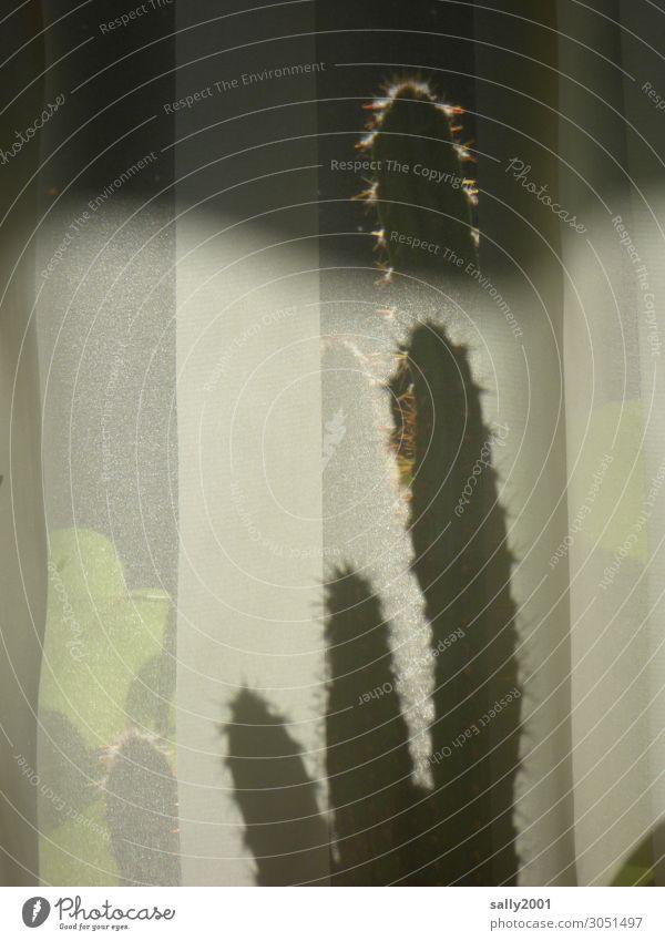 Kaktus hinterm Vorhang... Säulenkaktus Schatten Stacheln Spiegelung stachelig Reflexion & Spiegelung Licht grün exotisch Fenster Pflanze Tag Sonnenlicht