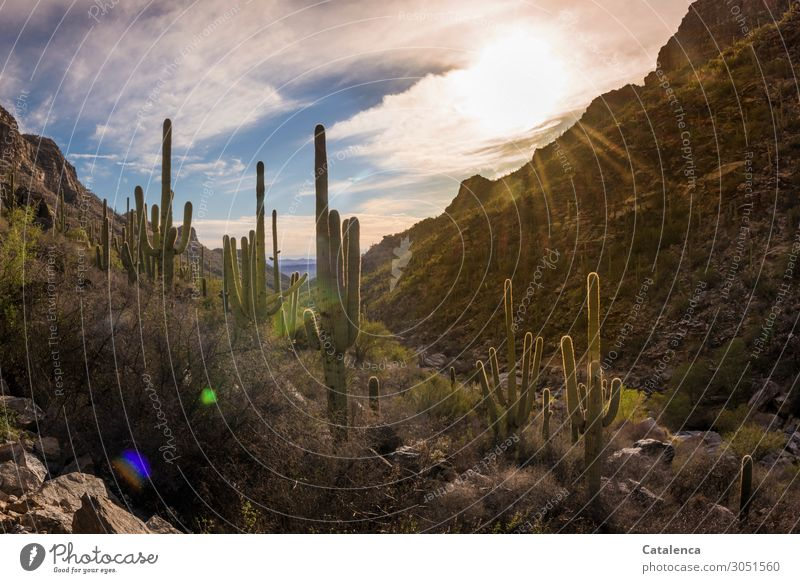 Kakteen in der Abendsonne wandern Natur Pflanze Himmel Wolken Sonnenaufgang Sonnenuntergang Sonnenlicht Winter Schönes Wetter Sträucher Kaktus Saguaro Kaktus