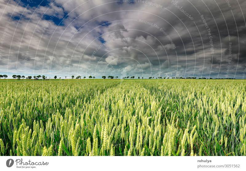 Weizenfeld und schöner Himmel an sonnigen Tagen Brot Sommer Umwelt Natur Landschaft Erde Wolken Gewitterwolken Horizont Unwetter Sturm Baum Wiese Feld natürlich
