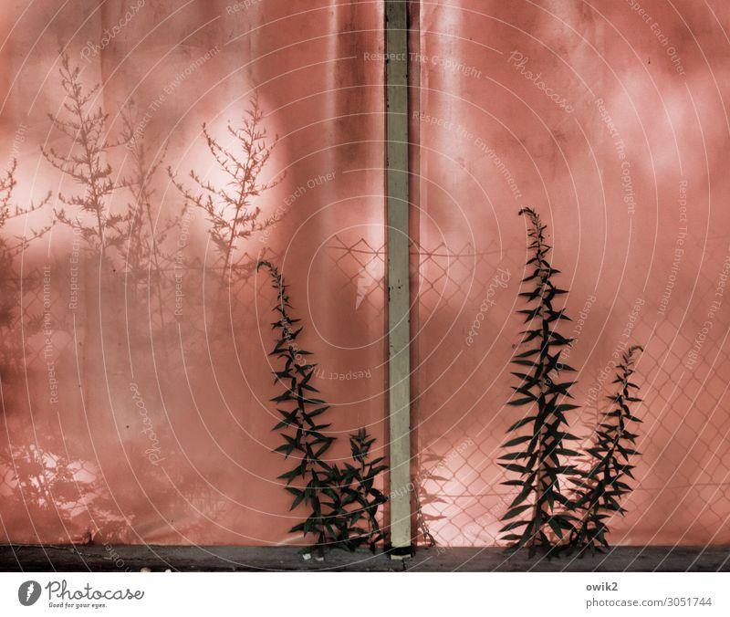 Stubenhocker Pflanze Wildpflanze Halm Abdeckung Zeltplane Holz Kunststoff Wachstum Zusammensein Neugier rot Silhouette schemenhaft durchscheinend Farbfoto