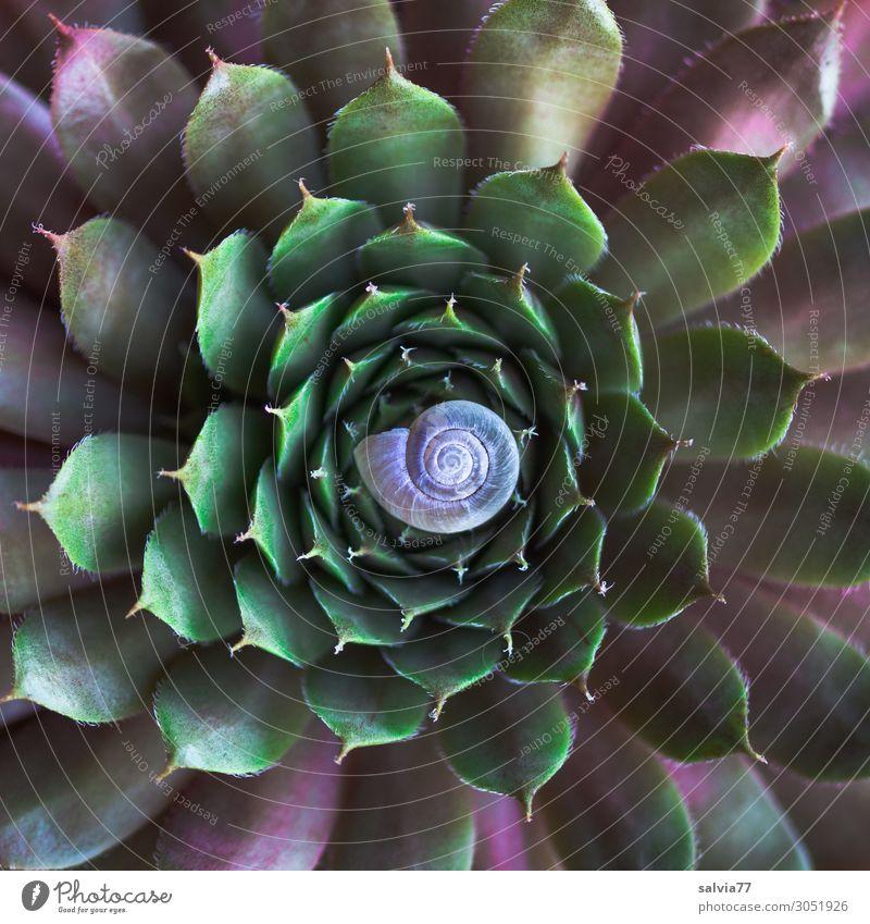 Mandala Umwelt Natur Pflanze Blatt Wildpflanze Fetthenne Sempervivum Crassula Topfpflanze Garten Schnecke Schneckenhaus rund Spitze Symmetrie