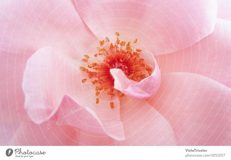 Rosé schön Körperpflege Wellness Duft Natur Pflanze Sommer Blume Rose Blüte Blühend nah natürlich rosa Romantik Farbe Leichtigkeit rein Sinnesorgane Blütenblatt