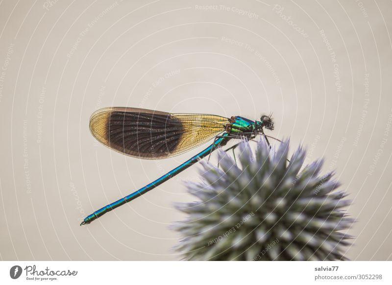 blaugrün schillernd Umwelt Natur Sommer Pflanze Blume Blüte Kugeldistel Distel Garten Tier Wildtier Flügel Libelle Prachtlibellen Insekt 1 Spitze stachelig