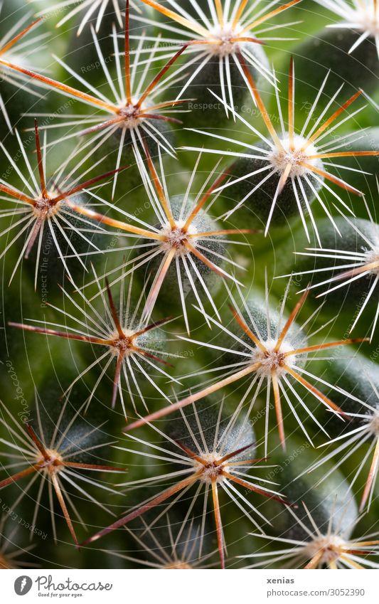 Autsch Pflanze Kaktus Topfpflanze Mammalia Zimmerpflanze Spitze stachelig gelb grün weiß piecken Aua Farbfoto Studioaufnahme Nahaufnahme Detailaufnahme