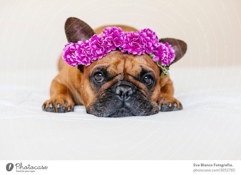 süsse braune französische Bulldogge zu Hause mit einem Blumenkranz Lifestyle Stil Glück schön Erholung Freizeit & Hobby Bett Raum Tier Frühling Sommer Haustier