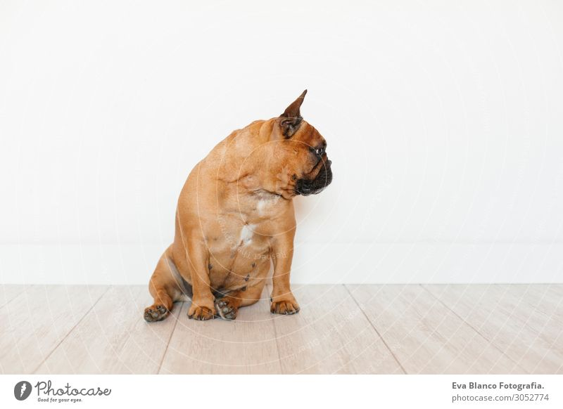 Porträt der süßen braunen französischen Bulldogge, Haustiere im Haus und im Lebensstil. Lifestyle Stil Glück schön Erholung Freizeit & Hobby Raum Tier Hund 1