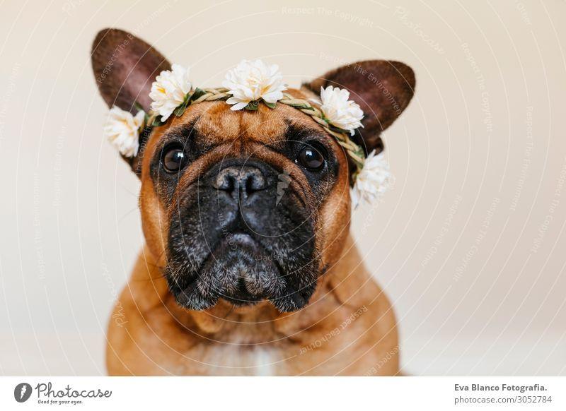 süsse braune französische Bulldogge zu Hause mit einem Blumenkranz Lifestyle Stil Glück schön Erholung Freizeit & Hobby Tier Frühling Sommer Haustier Hund 1