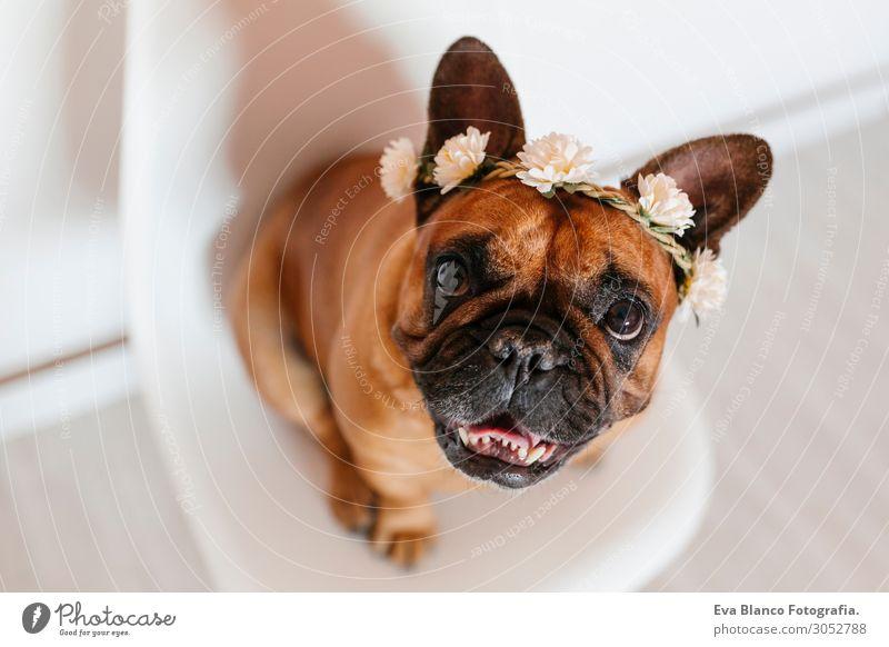 süsse braune französische Bulldogge zu Hause mit einem Blumenkranz Lifestyle Stil Glück schön Erholung Freizeit & Hobby Raum Freundschaft Tier Frühling Sommer