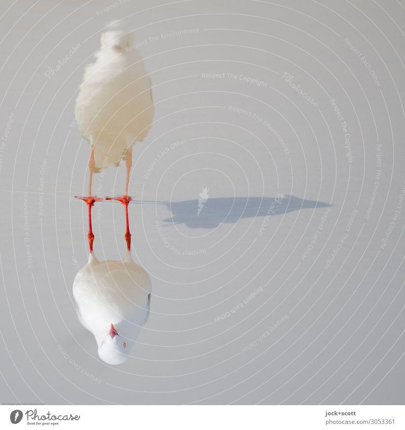 silver gull triple Pazifikstrand Queensland Wildtier Silbermöwe 1 außergewöhnlich nass standhaft komplex Perspektive Surrealismus Symmetrie Schattenspiel 3