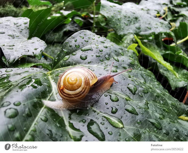 Schneckentempo Umwelt Natur Pflanze Tier Urelemente Wasser Wassertropfen Sommer Regen Efeu Blatt Garten 1 frei klein nass natürlich braun grün orange