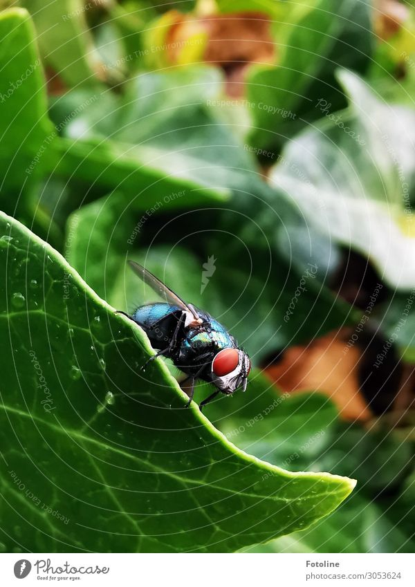 Schmeißfliege Umwelt Natur Pflanze Sommer Efeu Grünpflanze Garten Park Tier Fliege Flügel 1 frei hell klein braun grün sitzen Auge Behaarung Blatt Blattgrün