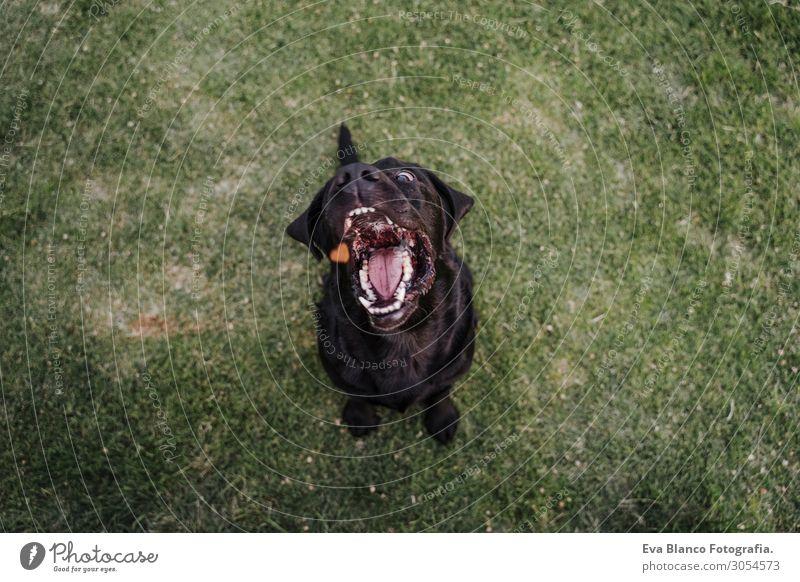 schöner schwarzer Labrador, der auf dem Gras in einem Park sitzt. Essen Lifestyle Freude Gesicht Freizeit & Hobby Sommer Freundschaft Mund Zähne Natur Tier