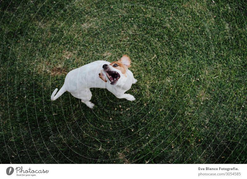süßer Jack Russell Hund isst Leckereien auf dem Rasen in einem Park. Essen Lifestyle Erholung Sommer Natur Tier Gras Haustier beobachten Lächeln sitzen springen
