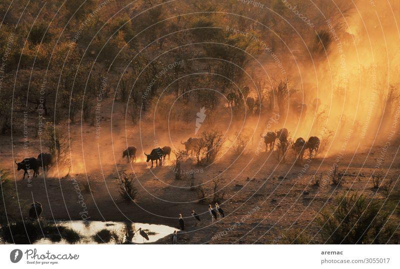 Viehauftrieb Natur Wasser Landschaft Tier orange Stimmung Wildtier Afrika Herde Geier Büffel Staubwolke