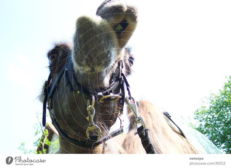 Kamel Tier Wüste Dromedar Kamelhöcker