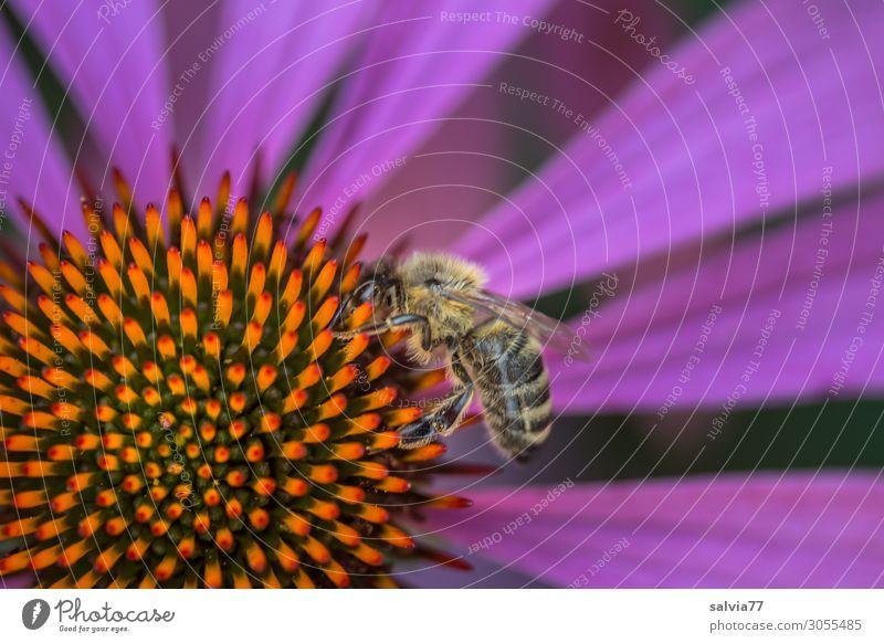 echinacea purpurea Umwelt Natur Sommer Pflanze Blume Blüte Roter Sonnenhut Garten Tier Nutztier Biene Insekt Honigbiene Arbeiter Pollen Nektar 1 Blühend Duft
