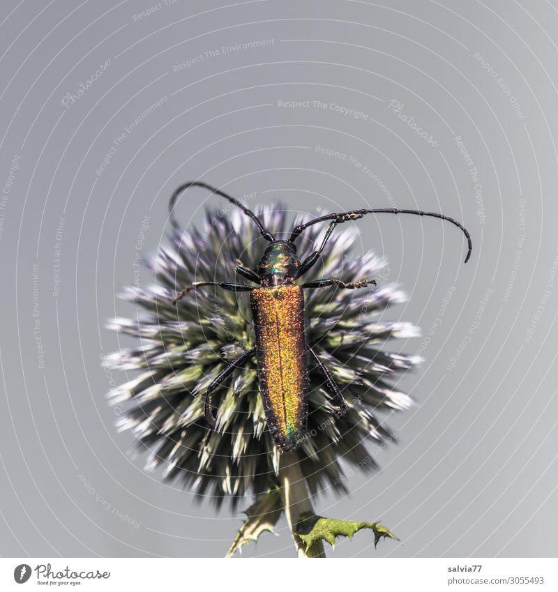 Glanz und Stacheln Umwelt Natur Pflanze Blume Blüte Distel Kugeldistel Garten Tier Käfer Fühler Insekt Moschusbock 1 krabbeln glänzend schön Spitze stachelig