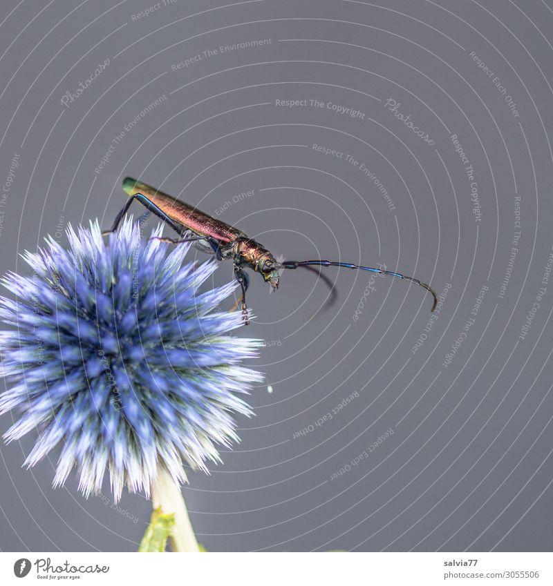 Moschusbock Umwelt Natur Sommer Pflanze Blume Blüte Kugeldistel Distel Garten Tier Käfer Fühler Insekt 1 krabbeln außergewöhnlich stachelig Kontrast Farbfoto