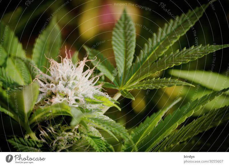 Blütentraum - Traumblüte Alternativmedizin Rauschmittel Medikament Pflanze Sommer Hanf Blatt Grünpflanze Nutzpflanze Blühend Duft Wachstum ästhetisch