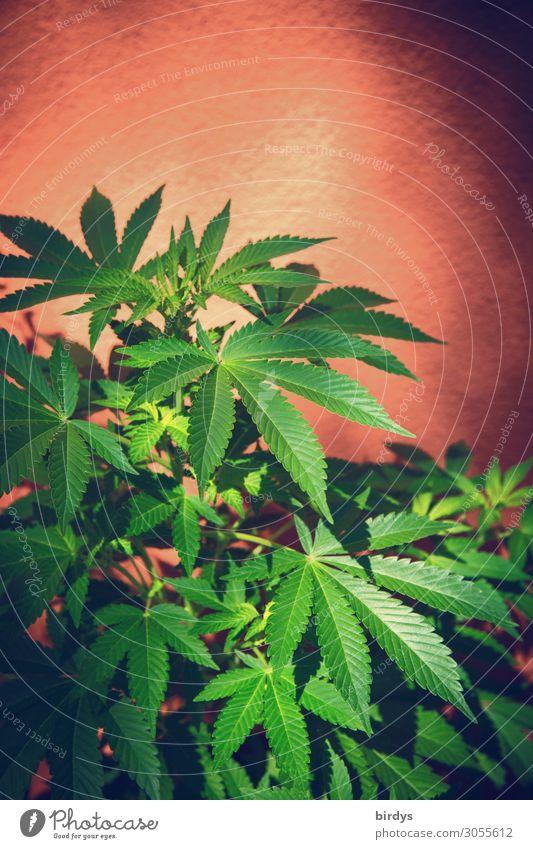üppige Cannabispflanze Rauschmittel Sommer Schönes Wetter Pflanze Hanf Grünpflanze Topfpflanze Cannabisblatt Duft Wachstum ästhetisch authentisch frisch positiv