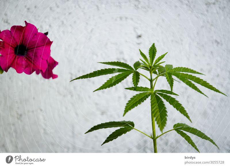 Florales Miteinander Rauschmittel Sommer Blume Hanf Blüte Topfpflanze Cannabis Mauer Wand Blühend Duft Wachstum ästhetisch authentisch frisch positiv grün rosa