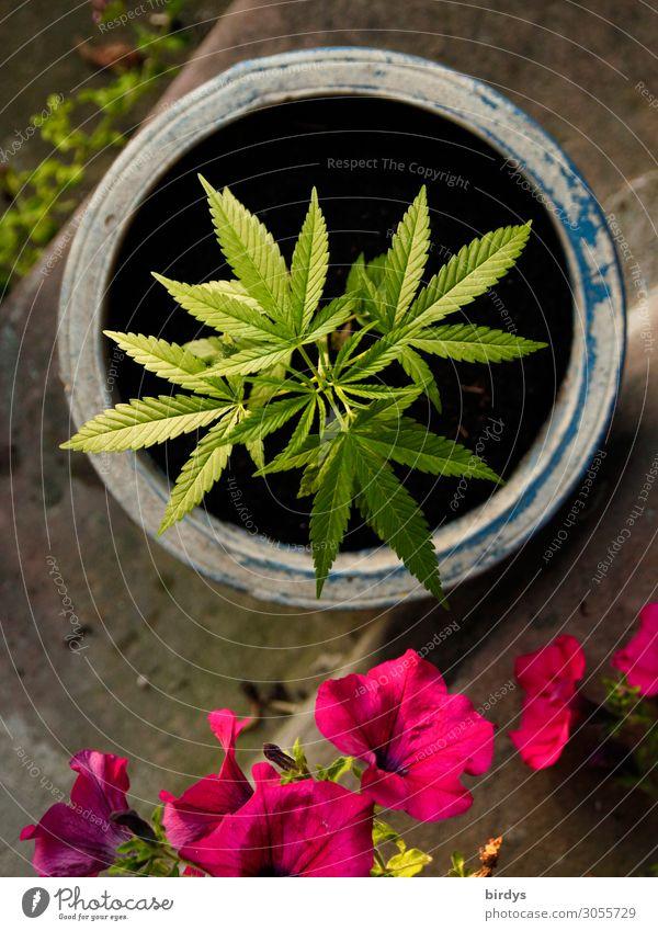 Gartenkräuter Alternativmedizin Rauschmittel Sommer Schönes Wetter Pflanze Blume Blatt Blüte Grünpflanze Nutzpflanze Topfpflanze Cannabisblatt Industriehanf