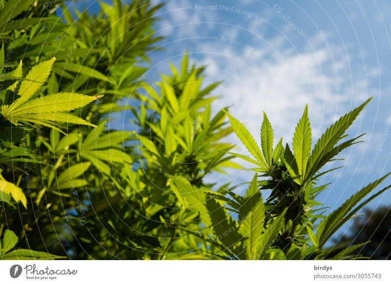 Cannabispflanze im Freiland Alternativmedizin Rauchen Rauschmittel Medikament Pflanze Himmel Schönes Wetter Blüte Nutzpflanze Cannabisblatt Wachstum authentisch