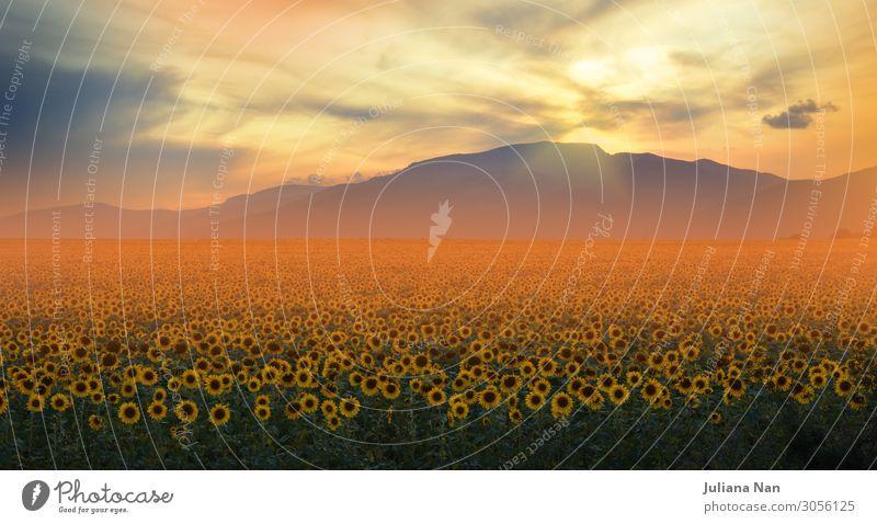 Sonnenblumenfeld bei Sonnenuntergang, orangefarbener Naturhintergrund. Lifestyle exotisch Freude schön Kunst Ausstellung Kunstwerk Umwelt Landschaft Pflanze