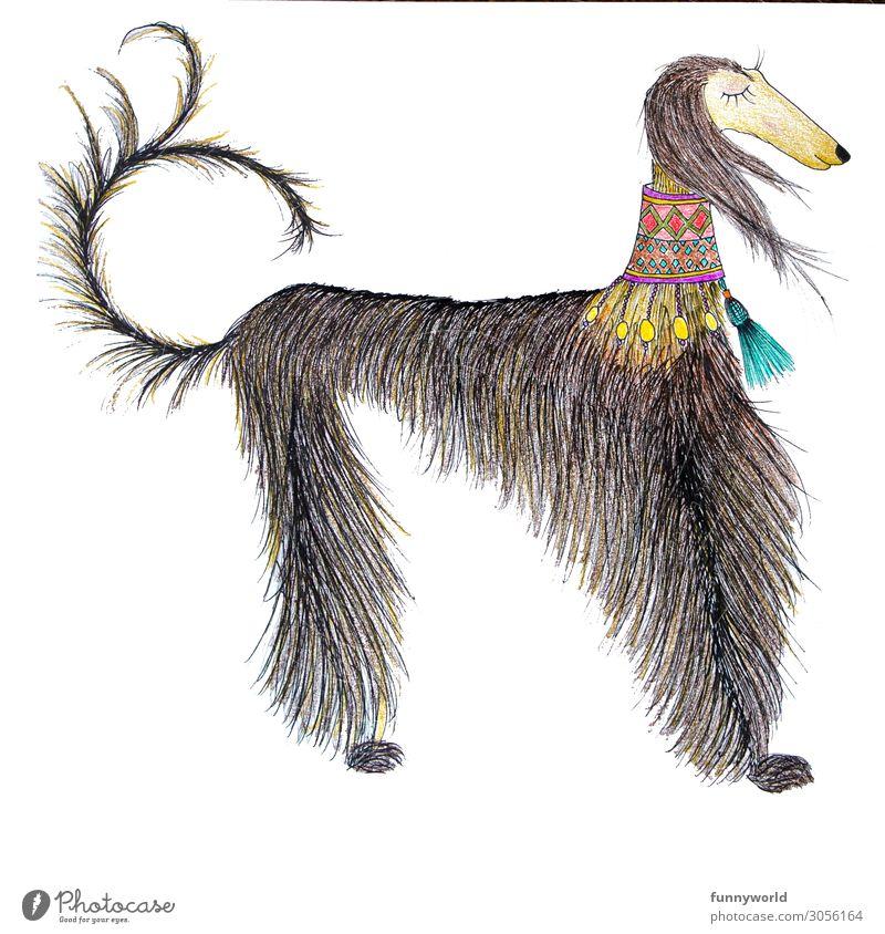 Der edle Afghane Tier Haustier Hund 1 außergewöhnlich schön Windhund edel dünn Schmuck Hundehalsband Statussymbol ruhig schick Schwanz mehrfarbig Menschenleer