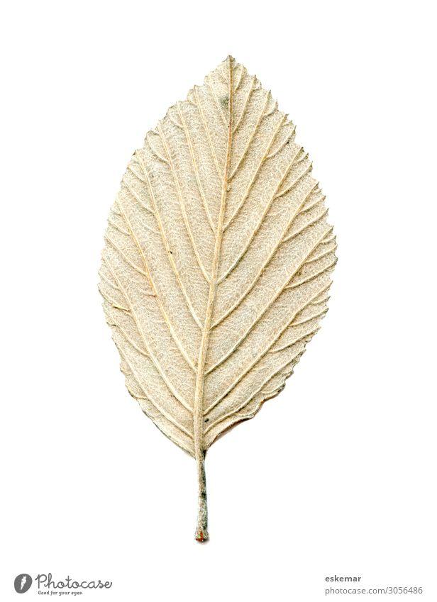 Blatt Natur Pflanze Baum ästhetisch authentisch braun grün weiß Rückseite Hintergrundbild Haare Härchen Botanik pflanzlich Textfreiraum Herbst Herbstlaub