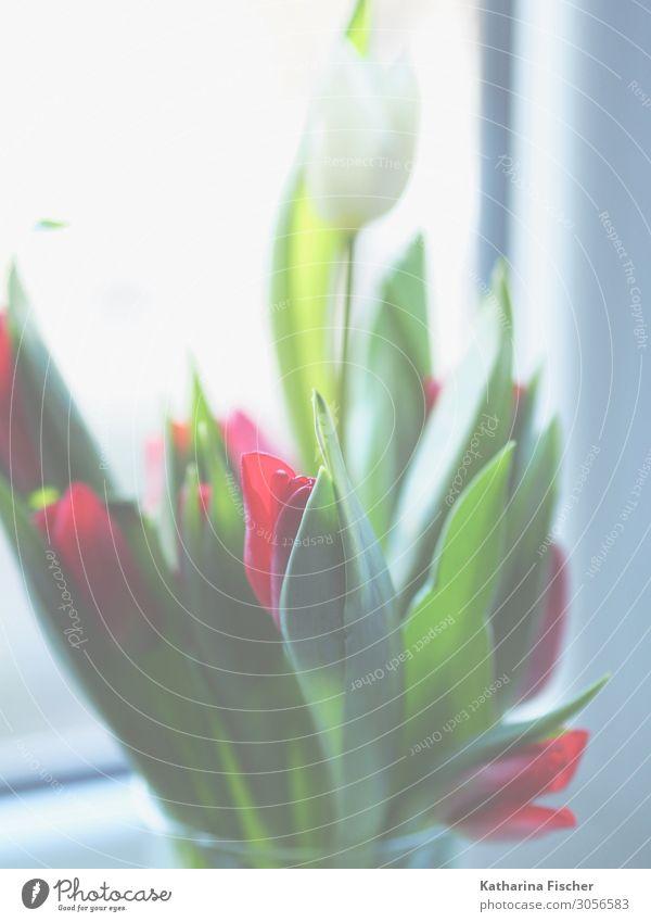 Tulpen weiß rot Pflanze Frühling Sommer Herbst Blume Blatt Blüte Blumenstrauß Blühend leuchten schön grün türkis Dekoration & Verzierung Tulpenblüte