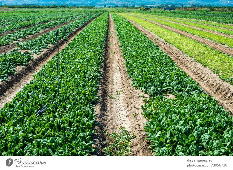 Spinatfarm. Bio-Spinatblätter auf dem Feld. Gemüse Vegetarische Ernährung Diät Garten Umwelt Pflanze Blatt Wachstum frisch natürlich grün ausgesät Reihen