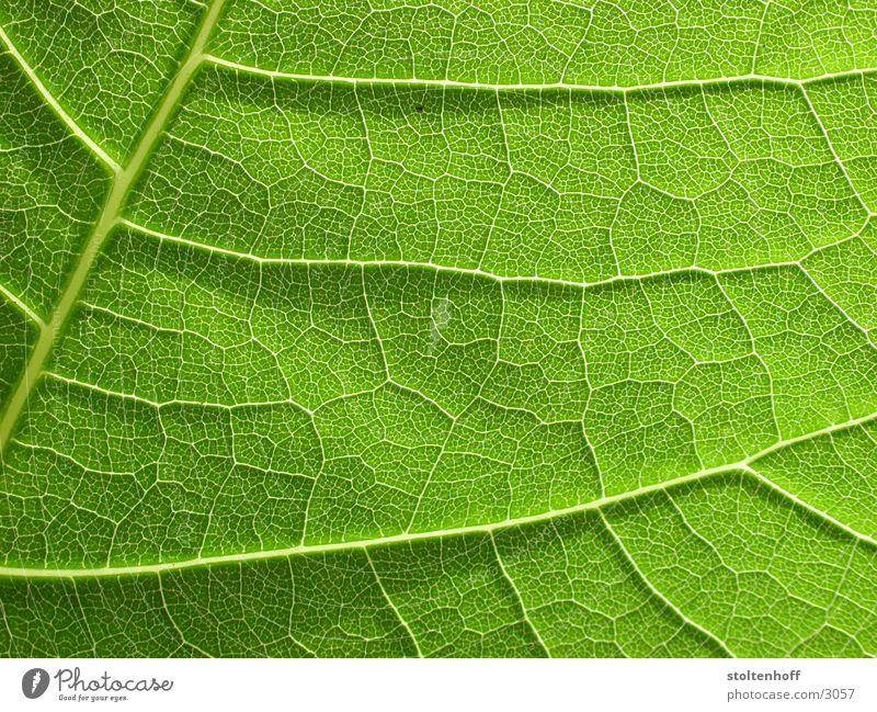 grün Blatt Pflanze Gegenlicht Gefäße Reifezeit Makroaufnahme Nahaufnahme Natur Strukturen & Formen Wachstum