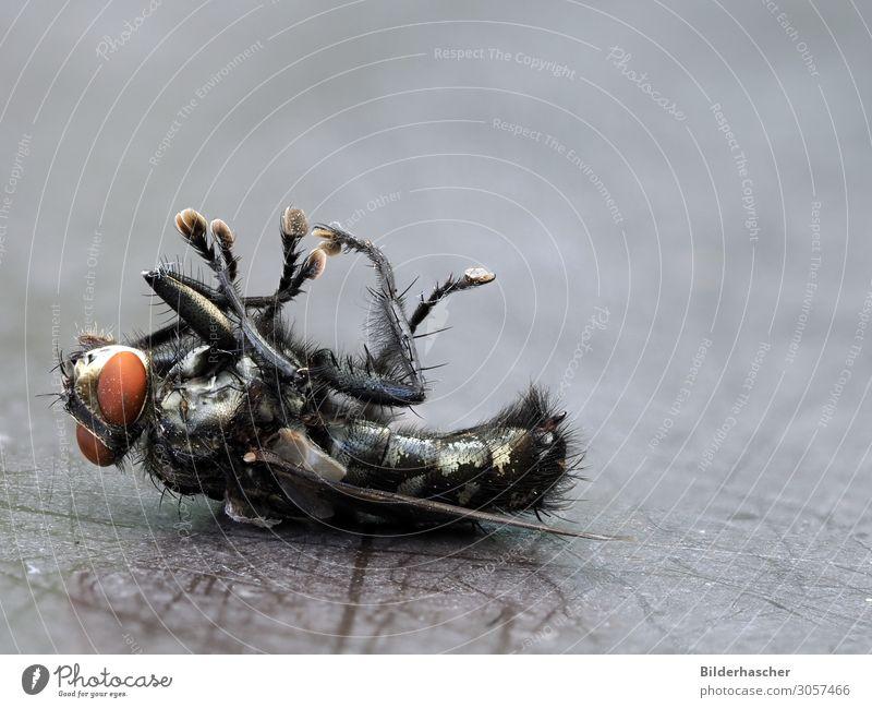 Tote Fliege Tod Schädlingsbekämpfung Insekt insektizid Flügel Schmeißfliege lästig vernichten vergiftet Schädlinge Behaarung Facettenauge Ekel Detailaufnahme