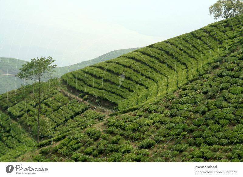 Teegarten am Berghang Getränk Design Berge u. Gebirge Natur Pflanze Feld Hügel hell grün Farbe trinken brilliant schillernd Reittier nachlässig geneigt Neigung