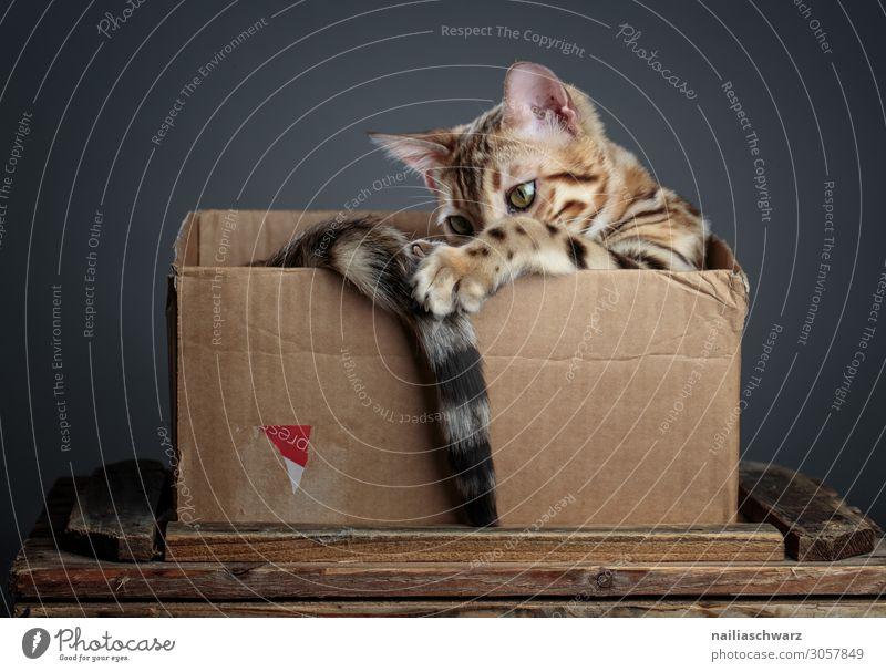 Bengal Katze im Korb Freude Erholung Tier Haustier bengalische katze 1 Tierjunges Verpackung Karton Holz beobachten festhalten Spielen elegant frech natürlich