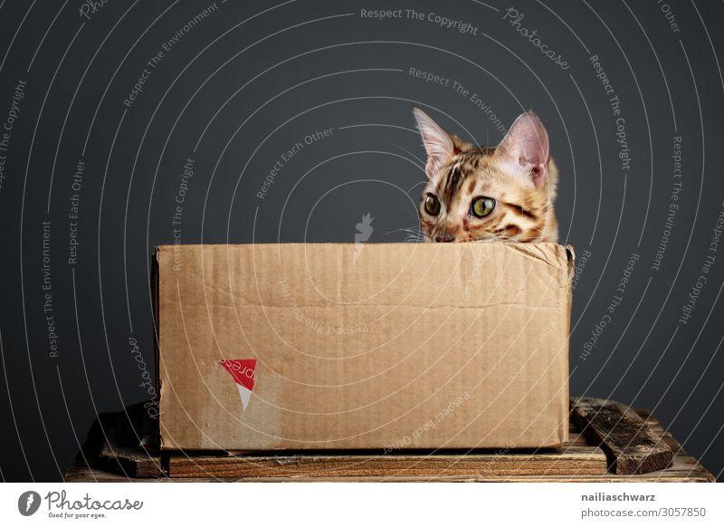 Katze in Box Lifestyle Stil Design Freude Erholung Häusliches Leben Haustier Tiergesicht Bengal Katze 1 Tierjunges Kasten Karton Schachtel Verpackung kuschlig