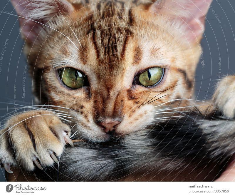 Bengal Katze Freude ruhig Tier Haustier 1 Tierjunges beobachten festhalten Blick frech Fröhlichkeit lecker lustig natürlich Neugier niedlich schön braun grün