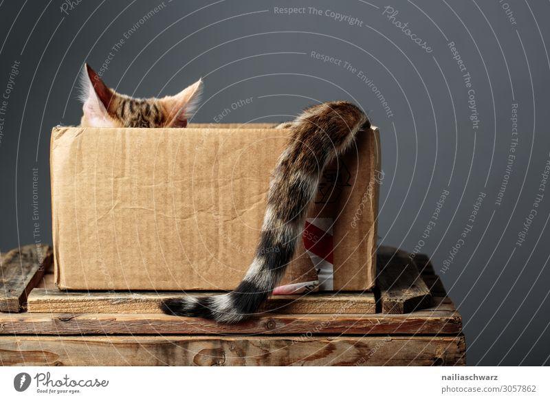 Bengal Katze Freude Erholung Ohr Tier Haustier Fell bengal katze 1 Tierjunges Pappschachtel Pappverpackung Karton Schachtel beobachten genießen Blick warten
