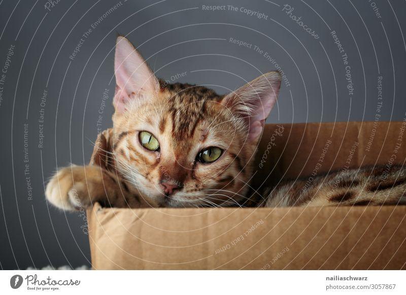 Bengal Katze Lifestyle Freude Erholung Tier Haustier Tiergesicht Pfote 1 Tierjunges Schachtel Verpackung Karton beobachten frech kuschlig Neugier niedlich schön