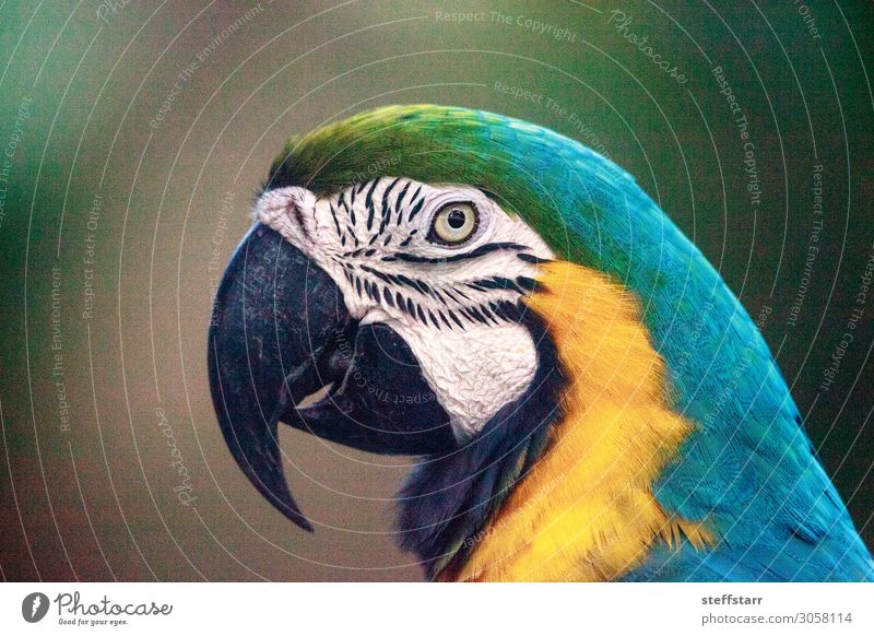 Blau-Goldener Ara Ara ararauna schön Natur Tier Haustier Vogel Flügel 1 blau gelb gold schwarz Ararauna Papagei Hausvogel Schnabel tropisch Wildvogel Tierwelt