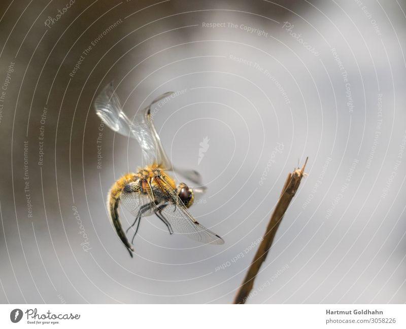 Ein große gelbe Libelle im Flug fotografiert. Sommer Natur Tier Groß Libelle 1 Ast Beine Fluginsekt Flügel Gewässer Insekt Jahreszeiten Landung Odonata
