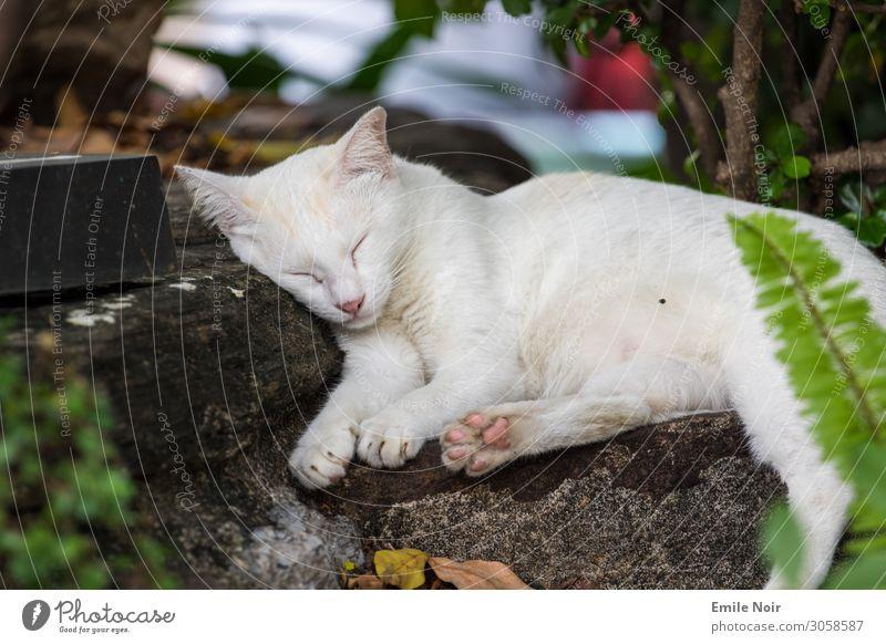 Schlafende Tempelkatze Tier Haustier Katze 1 schlafen träumen Warmherzigkeit Tierliebe Farbfoto Außenaufnahme Tag Tierporträt geschlossene Augen