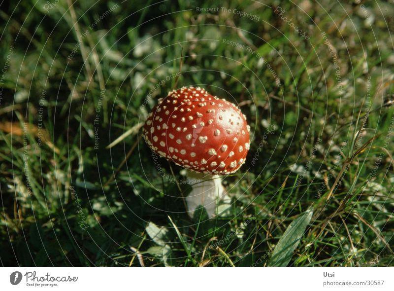 Glückspilz Pflanze Sommer Berge u. Gebirge Bayern Zoomeffekt Pilz Fliegenpilz