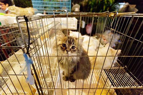 Kauf mich! Katze Tier Tierjunges niedlich Asien Hauskatze Haustier tierisch Handel gefangen verkaufen Thailand Käfig Marktstand Katzenauge Streichelzoo