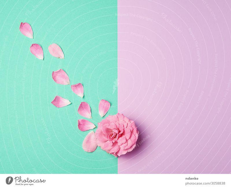 Knospe einer rosa blühenden Rose und verstreuten Blütenblättern schön Sommer Dekoration & Verzierung Feste & Feiern Hochzeit Natur Pflanze Blume Linie Liebe