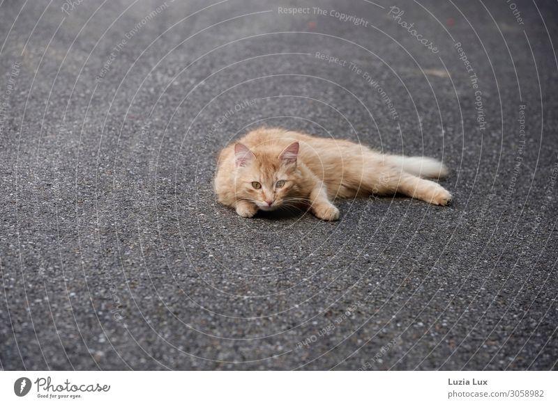 Katze, Rottiger Kleinstadt Stadtrand Menschenleer Straße rothaarig Haustier 1 Tier Jagd liegen listig schön wild weich gold grau Farbfoto Gedeckte Farben