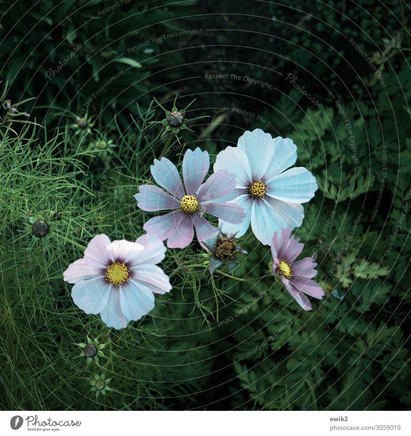 Blue in Green Umwelt Natur Pflanze Sommer Schönes Wetter Blume Sträucher Blüte Schmuckkörbchen Blütenblatt Garten Blühend Wachstum Zusammensein schön Idylle