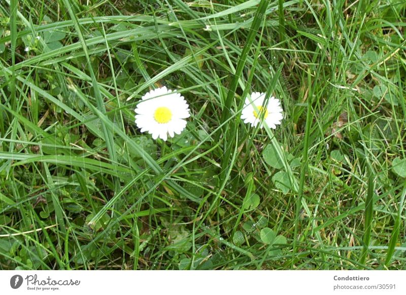 Gänseblümchen Blume grün Sommer Wiese Frühling Schönes Wetter